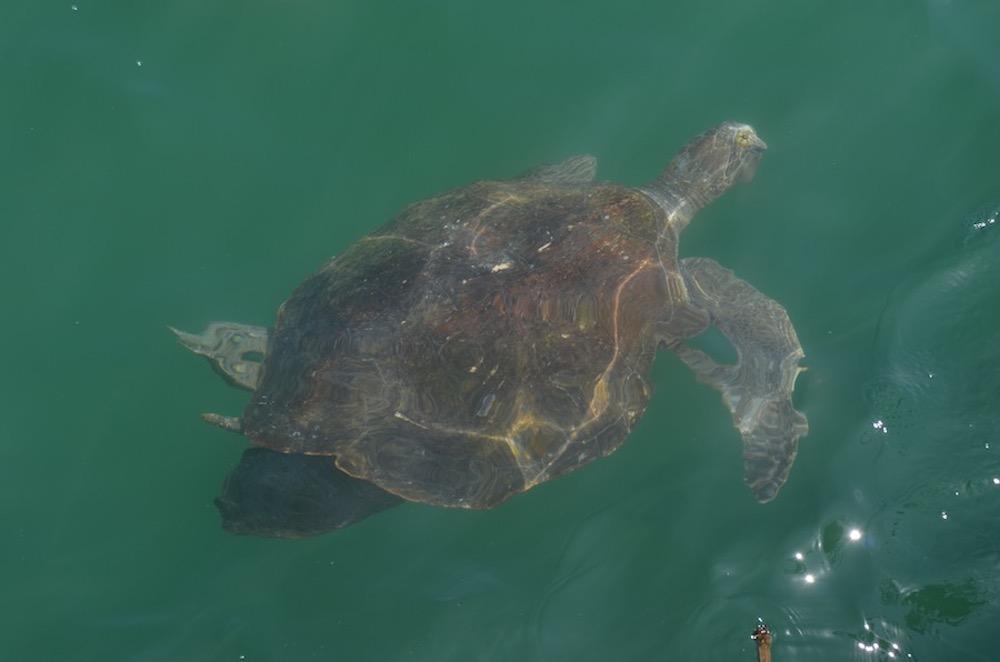 Nado con tortugas Mancora - Peru - La Vida de Serendipity 1