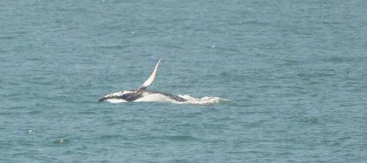 whale watch - avistamiento de ballenas Oceanica Expeditions Mancora Peru 1